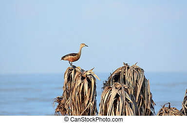 Lesser Indian whistling duck (Dendrocygna javanica) a tree nesting wetland water bird with brown long neck dark gray bill legs spotted sitting on dry leaves estuaries. Bonal Bird Sanctuary Karnataka