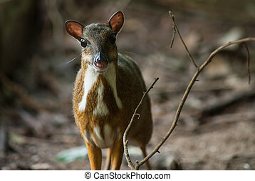 Lesser Mouse Deer in Forest
