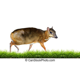 lesser mouse deer isolated