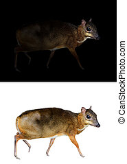 lesser mouse deer standing in the dark and white background
