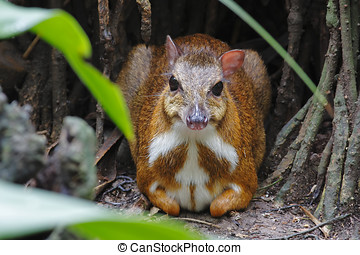 Lesser mouse-deer Tragulus kanchil sit on the ground