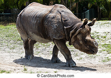 Lesser one-horned rhinoceros also known as a Javan...