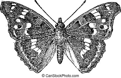 Lesser Purple Emperor or Apatura ilia, vintage engraved illustration. Dictionary of Words and Things - Larive and Fleury - 1895