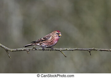 Lesser redpoll, Carduelis cabaret