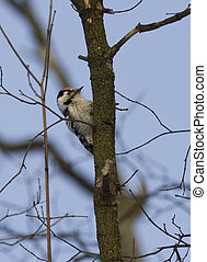 Lesser spotted woodpecker-1.