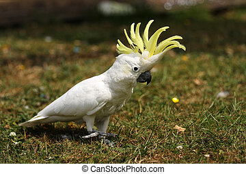 A Lesser Sulphur Crested Cockatoo walking on grass with his crest erect.