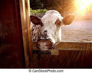 let me in - cow wanting to get away from the sunset