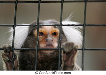 Let me Out! - Common Marmoset behind fence, focus on eyes