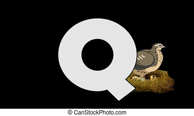 Letter Q and Quail (background) - Animated animal English...