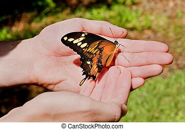 Letting Go - A giant swallowtail in a man's hands.