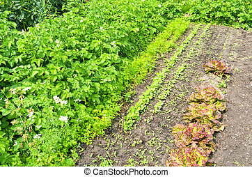 Lettuce and potatoes in the organic vegetable garden.