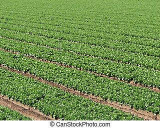 lettuce farm rows
