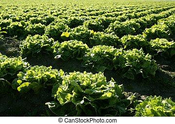 Lettuce field in Spain. Green plants perspective