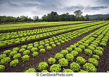 Lettuce field with dark stormy skies