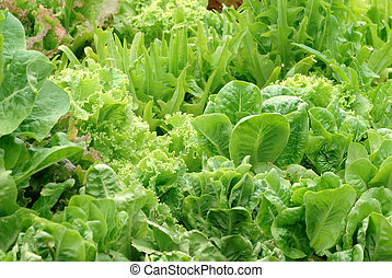 Lettuce Garden - A garden packed with many varieties of...