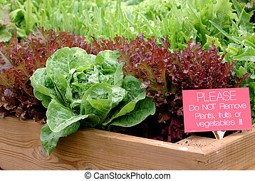 Lettuce Garden - Container Garden - A beautiful lettuce...