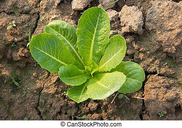 Lettuce growing in organic farm