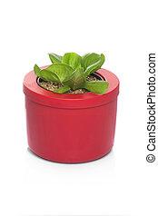 lettuce growing in pots