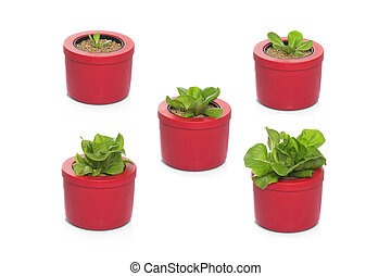 lettuce growing in stages