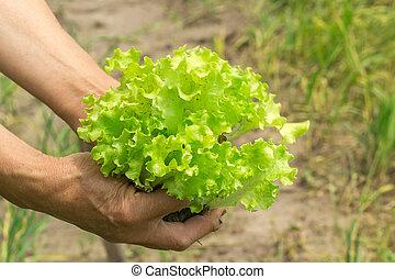 Lettuce in hand. Hands gardener. Work-worn hands. Farmer with freshly lettuce.