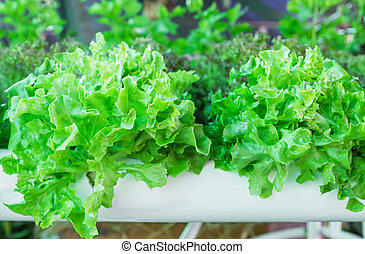 Lettuce in the greenhouse .Organic hydroponic vegetable...