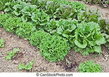 lettuce in vegetable garden - fresh green lettuce growing in...