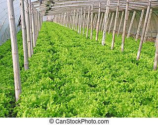 Lettuce in vegetable greenhouse