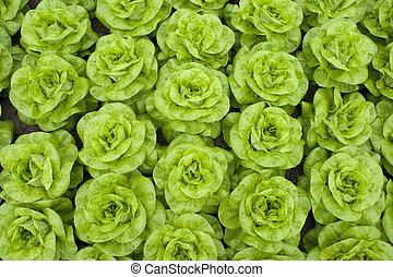 lettuce image taken from above