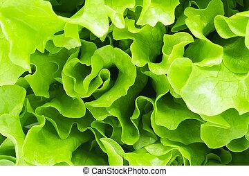 Lettuce - Green curvy leaves of fresh Lettuce salad