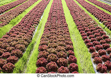 lettuce plant in a farm field - healthy green salad and red...