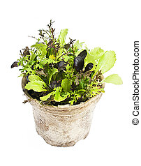 Lettuce plants in pot