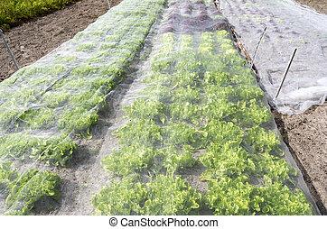 Lettuce plants. - Lettuce plants under a protective net in...