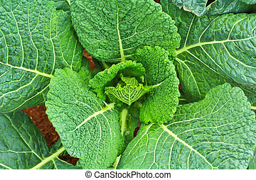 Lettuce red Soil