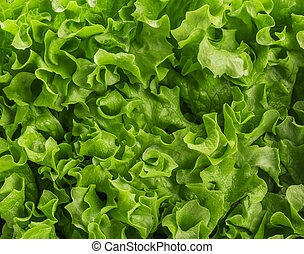 Lettuce salad, fragment. Abstract background.