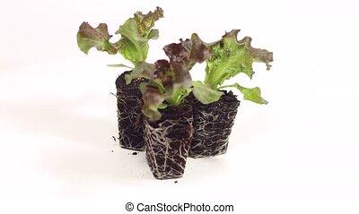 lettuce salad seedlings