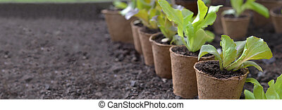 lettuce seedling growing in a peat pot and placed in the dirt of a garden with empty space at the left on dirt background