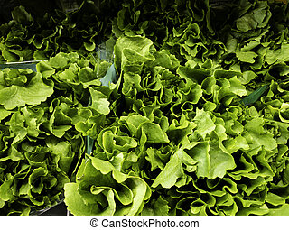 Lettuce seedlings in a market