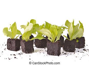 lettuce seedlings in dirt on white background
