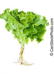 Lettuce. - Fresh lettuce on a white.