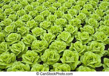 lettuce - rows of fresh green lettuce