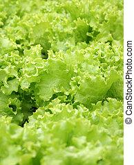 Green lettuce field.