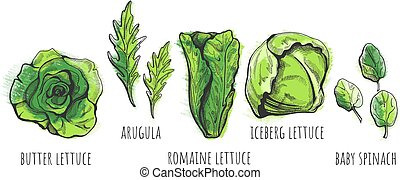 Lettuce types hand drawn - Vector illustration of a hand...