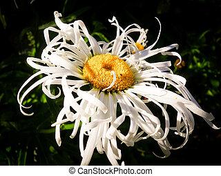 Leucanthemum daisy type flower - single white leucanthemum x...