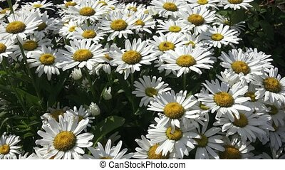 Leucanthemum maximum white chrysanthemum flowers also known...