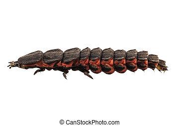 leuchtkäfer, weibliche , larve, arten, nyctophila, reichii
