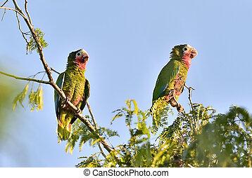 leucocephala, Kubanka,  (amazona, papuga,  leucocephala)