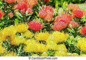 leucospermum flowers in bloom