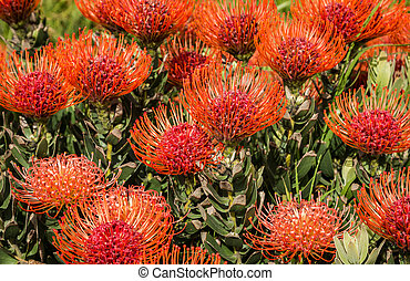 Leucospermum - Pincushion Protea flowers