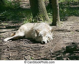 leugen, wolves, laten, slapende
