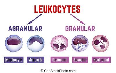 Leukocytes scheme image - Leukocytes types scheme. Editable ...